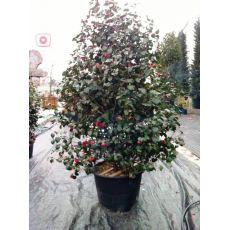 Kamelya Japon Gülü İthal Cemellia Japonica 300-350 Cm