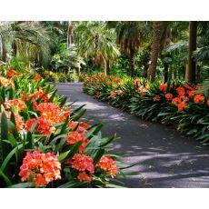 Klivya Çiçeği İthal Clivia 30-40 Cm