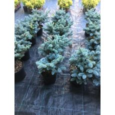 Mavi Ladin Fidanı Ağacı Bodur İthal Picea Pungens Glauca Globosa Nana 20-25 Cm çapı