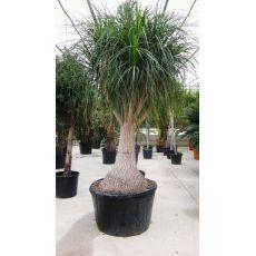 Nolina Fil Ayağı Fidanı Ağacı İthal Dioscorea Elephantipes