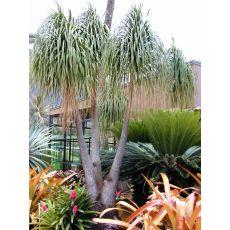 Nolina Fil Ayağı Fidanı Ağacı İthal Dioscorea Elephantipes 150-175 Cm