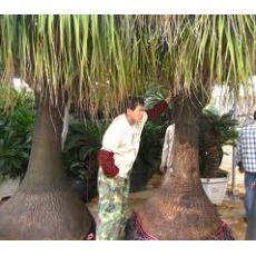 Nolina Fil Ayağı Fidanı Ağacı İthal Dioscorea Elephantipes 20-30 Cm
