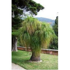 Nolina Fil Ayağı Fidanı Ağacı İthal Dioscorea Elephantipes 90-110 Cm