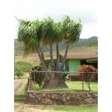 Nolina Fil Ayağı Fidanı Ağacı İthal Kalın Gövdeli Dioscorea Elephantipes 90-110 Cm