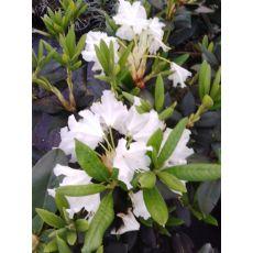 Orman Gülü İthal Rhododendron