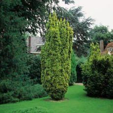 Porsuk Taxus Baccata Sarı Fastigiata Aurea