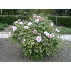 Ağaç Şakayık Çiçeği İthal Beyaz Paeonia