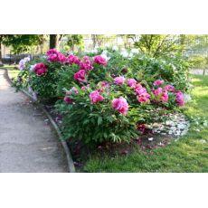 Ağaç Şakayık Çiçeği  Paeonia  40-50 Cm