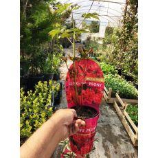 Ağaç Şakayık Çiçeği İthal Kırmızı Paeonia 15 lik Saksıda