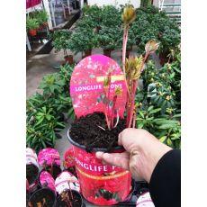 Ağaç Şakayık Çiçeği İthal Kırmızı Paeonia