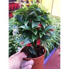 Ardisya Çiçeği İthal Ardisia 20-30 Cm