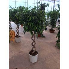 Benjamin Ficus  Duble Spiral Örgülü