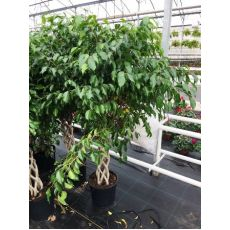 Benjamin Ficus Kafes Boru Örgülü 90 Cm