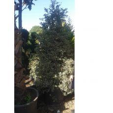 Çoban Püskülü İthal İlex Veriagatum pyramidalis