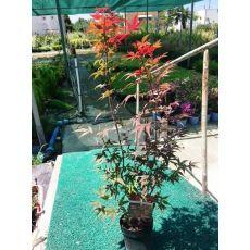 japon akçaağacı İthal Acer Palmatum Attrepurpurue 50-70 Cm