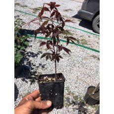 japon akçaağacı acer palmatum attrepurpurue