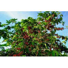 kahve Ağacı Fidanı İthal Rubiaceae Coffea