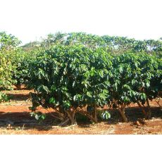 kahve Ağacı Fidanı İthal Rubiaceae Coffea 20-25 Cm