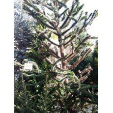 Maymun Çıkmaz Ağacı Araucaria Araucana 225-250 Cm