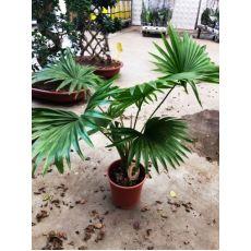 Salon Palmiyesi İthal Livistonia 50-70 Cm