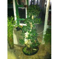 Ficus Bonzai Bonsai İthal 120-130 Cm