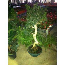 Ficus Bonzai Bonsai Yerli 100-110 Cm
