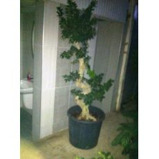 Ficus Bonzai Bonsai İthal 175 Cm