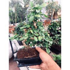 Ficus Bonzai Kıvrımlı Bonsai İthal Seramik Saksıda 150-20 Cm