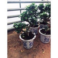 Ficus Bonzai Kıvrımlı Bonsai İthal Çin Vazoda 50-60 Cm