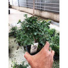 İthal Bonsai 20 Cm