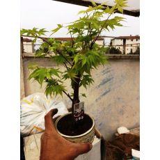 japon Akçaağacı Bonsai İthal Yeşil Yapraklı Acer palmatum sango kaku 20-30 Cm
