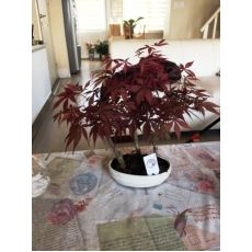 japon akçaağacı Kırmızı Yapraklı İthal Bonsai 3 lü Dikim acer palmatum attrepurpurue