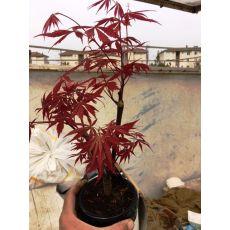 japon akçaağacı Kırmızı Yapraklı İthal Bonsai acer palmatum attrepurpurue