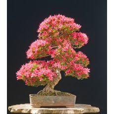 Açelya Çiçeği İthal İç Mekan Azelea Japonica 30-35 Çapı