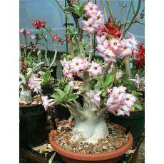 Adenyum bitkisi Çöl Gülü İthal Sukulent Adenium Sucullent 10-15 Cm