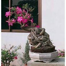 Adenyum bitkisi Çöl Gülü İthal Sukullent Adenium Sucullent 30-40 Cm