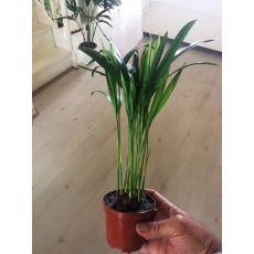 Havayı temizleyen Areka Palmiyesi Areca Lutescens 20-30 Cm