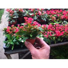 Dikenler Tacı Pembe Çiçekli İthal Euphorbia Milii 5 Cm Boyunda
