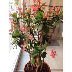 Dikenler Tacı Pembe Çiçekli İthal Euphorbia Milii 20 Cm Çapında