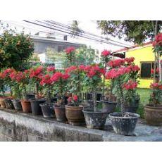 Dikenler Tacı Pembe Çiçekli Euphorbia Milii 30-40 Cm Boyunda