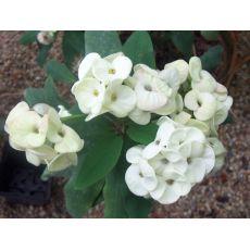 Dikenler Tacı Beyaz Çiçekli İthal Euphorbia Milii