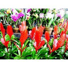 Frezya Vrezya Alev Kılıcı Çiçeği İthal Yeşil Yapraklı Vriesea Splendens
