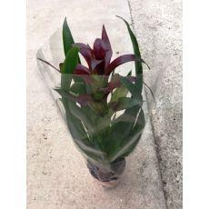 Guzmanya Çiçeği İthal Bordo Çiçekli Guzmania 25-35 Cm