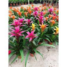 Guzmanya Çiçeği Farklı Renkli Guzmania 40-50 Cm