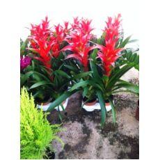 Guzmanya Çiçeği İthal Guzmania