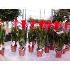 Guzmanya Çiçeği Guzmania 40-50 Cm