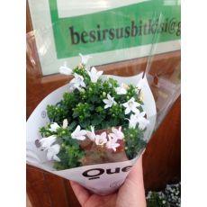 Kampanula Çiçeği Maviş Çiçeği Çan çiçeği Campanula Beyaz Çiçekli 10-15 Cm