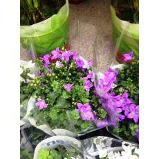 Kampanula Çiçeği Maviş Çiçeği Çan çiçeği Campanula Mor Çiçekli 10-15 Cm