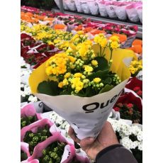Kardeş Kanı Çiçeği Kan Kardeş Çiçeği İthal Kalanchoe 10-15 Cm