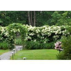 Sarmaşık Ortanca Çiçeği Beyaz Çiçekli  İthal Hydrangea anomala